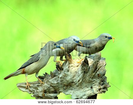 Chestnut-tailed Starling Birds (sturnus Malabaricus) Taking Worm Meals Together