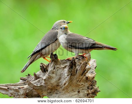 Chestnut-tailed Starling Birds On The Same Log In Sweet Motions (sturnus Malabaricus)