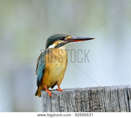 Common Kingfisher, Alcedo Atthis, With Details Of Its Back, Bird, Eurasian Kingfisher