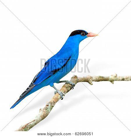 Fancy Of Blue Bird (black-naped Oriole) Isolated On White Background