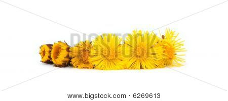 Aging row of coltsfoot
