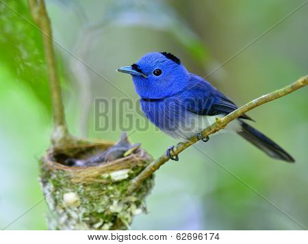 Father Of Black-naped Blue Flycatcher Bird Guarding Its Chicks In The Nest