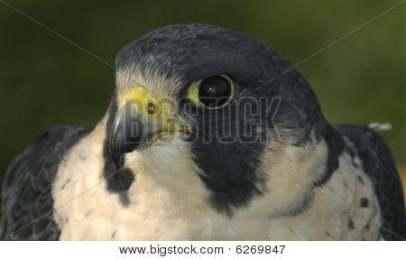 Peregrine Falcon (falco Peregrinus) Head & Shoulders