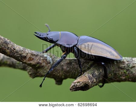 Hornless Of Rhinoceros Beetle (allomyrina Dithotomus) With Nice Green Background