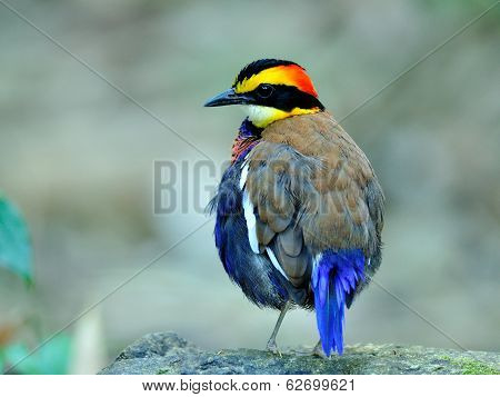 Male Of Banded Pitta With Fuffy Feathers