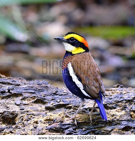 Male Of Banded Pitta Bird (pitta Guajana) Standing With Back Feathers Details