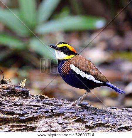 Male Of Bannded Pitta Bird Standing On The Ground With Lovely Actions
