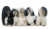 stock photo of tibetan  - five Tibetan terrier in front of white background - JPG