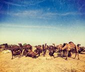 Vintage retro hipster style travel image of camels at Pushkar Mela (Pushkar Camel Fair). Pushkar, Ra