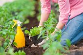 stock photo of germination  - Close up Woman farmer planting salad seedlings with yellow spray bottle and gloves