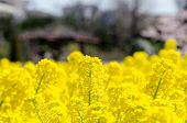 stock photo of rape-field  - The Rape blossoms - JPG