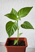Young Plant Peppers. Seedling In A Pot