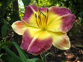 Glorious Day Lily poster