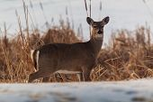 pic of swamps  - Single whitetail deer walking along the edge of a frozen swamp - JPG