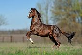 stock photo of galloping horse  - English thoroughbred horse jumping on the beautiful background of the field - JPG