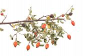 Isolated Image Of A Branch Rose Hips.