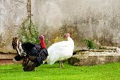 foto of avian flu  - Couple of turkey walking in fresh green grass - JPG