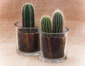 Постер, плакат: Two Cacti In Pots