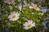 stock photo of wild-brier  - Flowering shrub wild roses at the edge of meadows - JPG