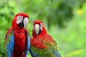 pic of green-winged macaw  - A sweet moment of Green - JPG
