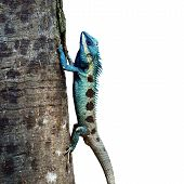 picture of fanny  - Blue Lizard perching on the tree  - JPG