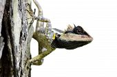 image of greater  - Greater spiny masked or Boulenger Long headed Lizard isolated from background - JPG