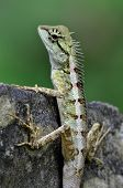 stock photo of lizards  - Green crested lizard black face lizard tree lizardBoulenger Long headed Lizard Pseudocalotes microlepis masked spiny lizard blue lizard - JPG