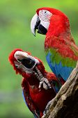 foto of green-winged macaw  - Green - JPG
