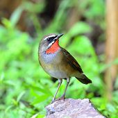 Male Of Siberian Rubythroat Bird (luscinia Sibilans) Showing Its Red Throart