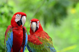 picture of green-winged macaw  - A sweet moment of Green - JPG