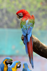 pic of green-winged macaw  - Best action with back details of Green wing macaw green - JPG