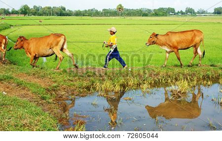 Asian Child Labor Tend Cows