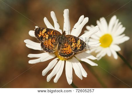 Pearly Crescent Spot On A Daisy