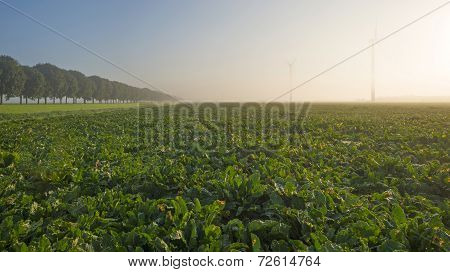 Turnip growing on a foggy field at fall