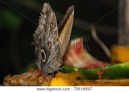 Butterfly Eating Fruit