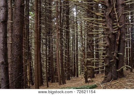 Creepy Pine Forest