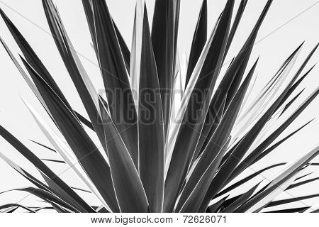 Close Up Of An Agave, Black And White Version