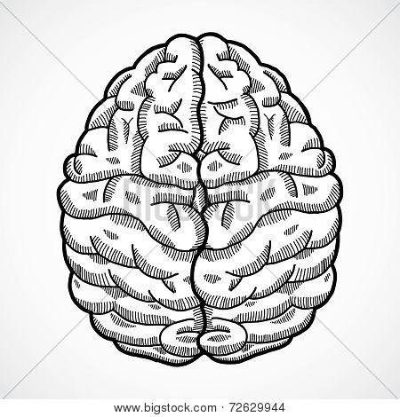 Human brain sketch