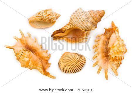 Sea Conches