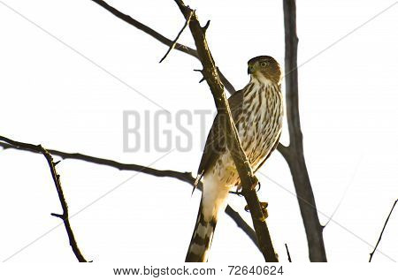 Sharp-shinned Hawk Perched In A Tree Against On White Background