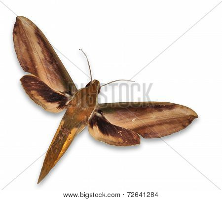 Giant Arum Hawkmoth