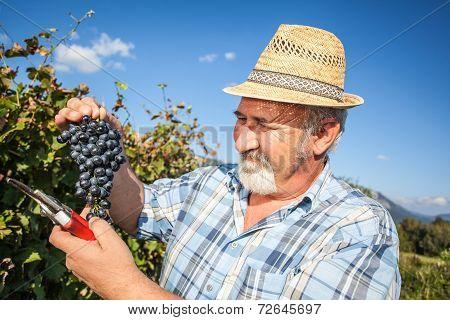Mature Winegrower Harvesting Black Grapes