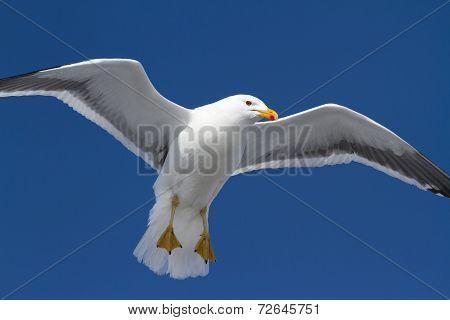 Kelp Gull Which Hangs In The Air Wings Spread In Antarctica