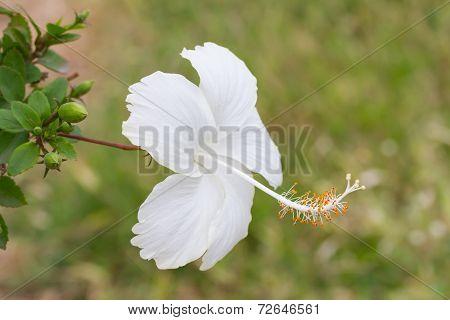 White hibiscus, Hibiscus Schizopetalus or Coral Hibiscus flower
