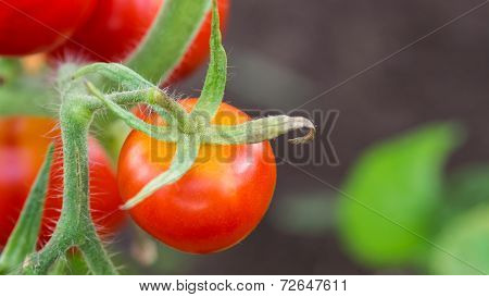 Red Tomato In Hothouse