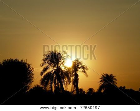 Date palms in sunset