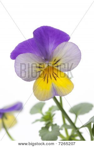 Fresh Viola cornuta tricolor