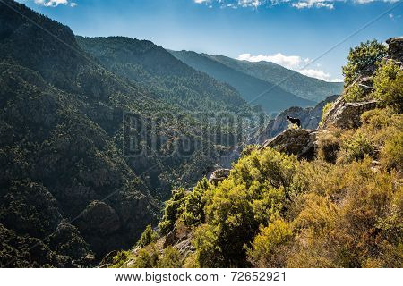 Border Collie Dog On Rocky Outcrop In Corsica