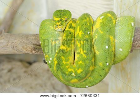 green tree python or morelia viridis