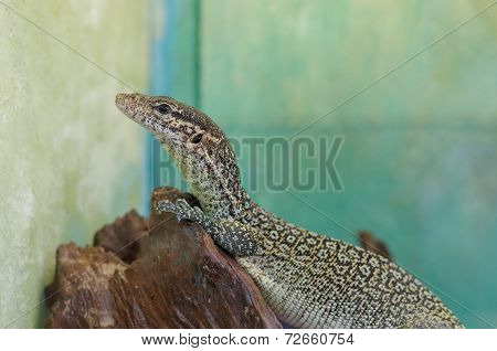 peacock monitor or varanus auffenbergi